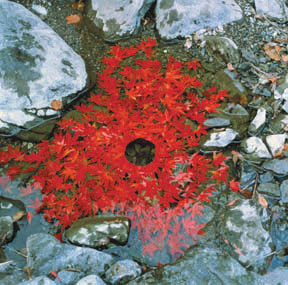 'Maple Leaves arrangement' by Andy Goldsworthy, this piece fully sums up what Land Art is about, nature constructing and being the work, rather than the work being placed in nature.